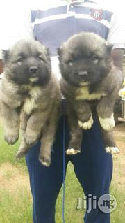 Top Quality Security Mountain Caucasian Puppy / Puppies For Sale | Dogs & Puppies for sale in Katsina State, Daura