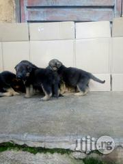 Top Notch Slant Back German Shepherd Puppies for Sale | Dogs & Puppies for sale in Lagos State, Surulere