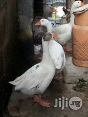 Geese For Sale   Livestock & Poultry for sale in Kwara State, Ilorin South