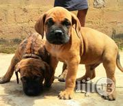 South African Giant Boerboel Mastiff Puppy / Puppies for Sale | Dogs & Puppies for sale in Lagos State, Gbagada