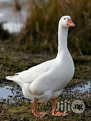 Geese (Hybrid)   Livestock & Poultry for sale in Abuja (FCT) State, Kubwa
