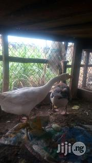 Geese Hybrid Bird   Livestock & Poultry for sale in Niger State, Suleja