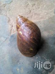 Snails ( Giant African Land Snails) | Other Animals for sale in Ogun State, Abeokuta North
