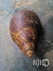 Giant African Land Snails Available | Other Animals for sale in Ogun State, Ayetoro