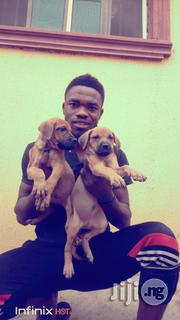 Baby Female Purebred Boerboel | Dogs & Puppies for sale in Ekiti State, Ilawe