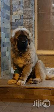 Young Male Purebred Caucasian Shepherd Dog | Dogs & Puppies for sale in Plateau State, Jos