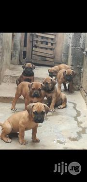 Giant South African Boerboel Mastiff Puppy / Puppies For Sale | Dogs & Puppies for sale in Lagos State, Gbagada