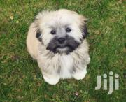 Spectacular Lhasa Apso   Dogs & Puppies for sale in Lagos State, Ikeja