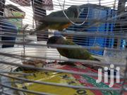 Senegalese Parrot | Birds for sale in Lagos State, Isolo