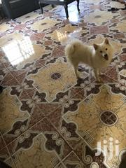 Adult Male Purebred American Eskimo Dog | Dogs & Puppies for sale in Lagos State, Ikeja