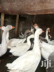 Geese And Ducks For Sale   Livestock & Poultry for sale in Oyo State, Lagelu