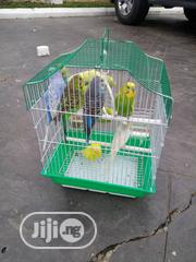 Healthy Budgie Is Available | Birds for sale in Lagos State, Surulere