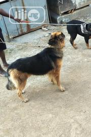 Crossing/Stud Service | Pet Services for sale in Abuja (FCT) State, Gwagwalada