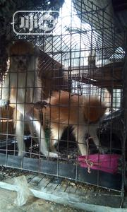 Well Treated Monkey | Other Animals for sale in Lagos State, Surulere