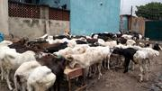 Ram Available For Sale | Livestock & Poultry for sale in Lagos State, Lagos Island
