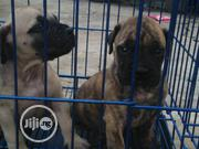 Baby Male Purebred Boerboel | Dogs & Puppies for sale in Lagos State, Surulere