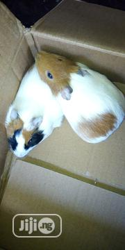 Healthy And Beautiful Guinea Pigs For Sale | Livestock & Poultry for sale in Kaduna State, Zaria
