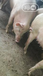 Pregnant Pigs For Sale | Livestock & Poultry for sale in Lagos State, Ifako-Ijaiye