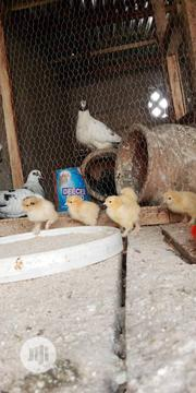 Brahma Chicks For Sale | Livestock & Poultry for sale in Kaduna State, Zaria