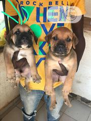 Baby Female Purebred Boerboel | Dogs & Puppies for sale in Abuja (FCT) State, Gwarinpa