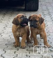 Baby Female Purebred Boerboel | Dogs & Puppies for sale in Lagos State