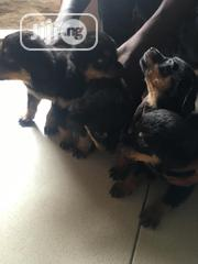 Young Female Purebred Rottweiler | Dogs & Puppies for sale in Lagos State, Gbagada