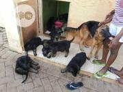 Baby Female Purebred German Shepherd Dog | Dogs & Puppies for sale in Lagos State, Alimosho