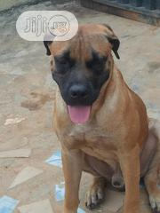 Young Male Purebred Boerboel | Dogs & Puppies for sale in Lagos State, Ikeja