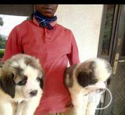 Baby Male Purebred Saint Bernard | Dogs & Puppies for sale in Lagos State, Ifako-Ijaiye