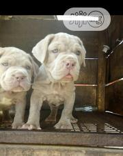 Baby Female Purebred Neapolitan Mastiff | Dogs & Puppies for sale in Lagos State, Alimosho