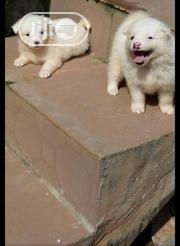 Baby Male Purebred American Eskimo Dog | Dogs & Puppies for sale in Lagos State, Ibeju