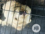 Young Male Purebred Lhasa Apso | Dogs & Puppies for sale in Lagos State, Isolo