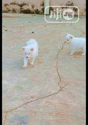Baby Male Purebred Samoyed | Dogs & Puppies for sale in Oyo State, Akinyele
