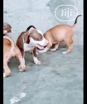 Baby Male Purebred American Pit Bull Terrier | Dogs & Puppies for sale in Lagos State, Ojodu