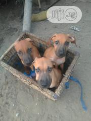 Baby Male Purebred Boerboel | Dogs & Puppies for sale in Lagos State