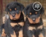 Baby Female Purebred Rottweiler | Dogs & Puppies for sale in Lagos State