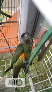 Sales of Male and Female Parrots 24/7 Delivery | Birds for sale in Lagos State, Alimosho