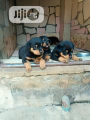 Young Female Purebred Rottweiler | Dogs & Puppies for sale in Lagos State, Alimosho