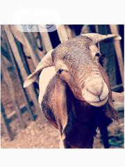 Healthy Rams | Livestock & Poultry for sale in Oyo State, Ogbomosho North