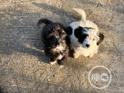 Baby Female Mixed Breed Lhasa Apso   Dogs & Puppies for sale in Abuja (FCT) State, Jabi