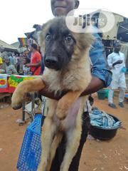 Young Female Purebred Caucasian Shepherd Dog | Dogs & Puppies for sale in Abuja (FCT) State, Asokoro