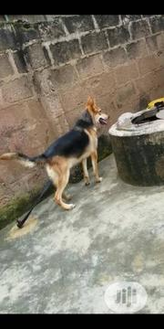 Young Female Purebred German Shepherd Dog   Dogs & Puppies for sale in Abuja (FCT) State, Gwarinpa