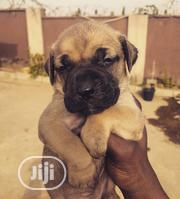 Baby Male Purebred Boerboel   Dogs & Puppies for sale in Abuja (FCT) State, Durumi