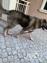 Young Male Mixed Breed Cockapoo   Dogs & Puppies for sale in Abuja (FCT) State, Kubwa