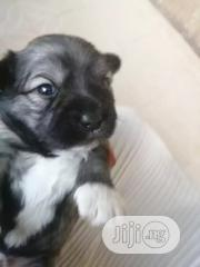 Baby Male Purebred Lhasa Apso | Dogs & Puppies for sale in Anambra State, Onitsha