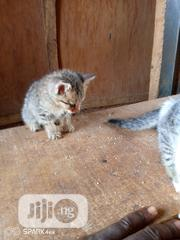 Young Female Purebred American Wirehair | Cats & Kittens for sale in Lagos State