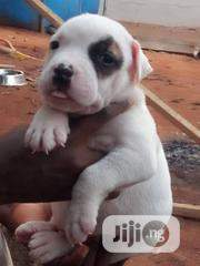 Baby Female Mixed Breed American Pit Bull Terrier | Dogs & Puppies for sale in Lagos State