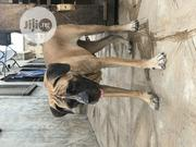 Adult Female Purebred Boerboel | Dogs & Puppies for sale in Oyo State, Ido