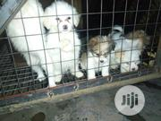 Baby Male Purebred Lhasa Apso   Dogs & Puppies for sale in Abuja (FCT) State, Maitama
