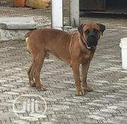 Baby Female Purebred Bullmastiff   Dogs & Puppies for sale in Abuja (FCT) State, Lugbe District
